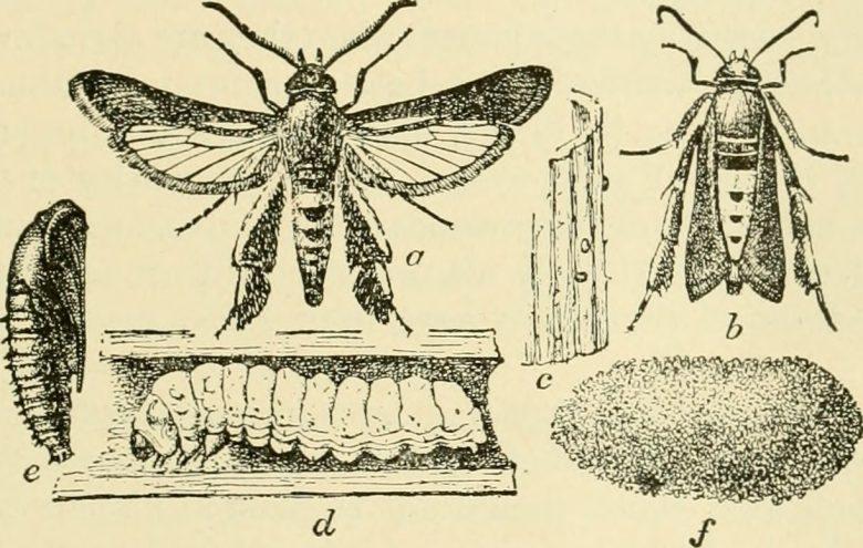 Oude tekening Lepidoptera