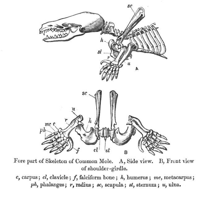 Skelet Talpa europea