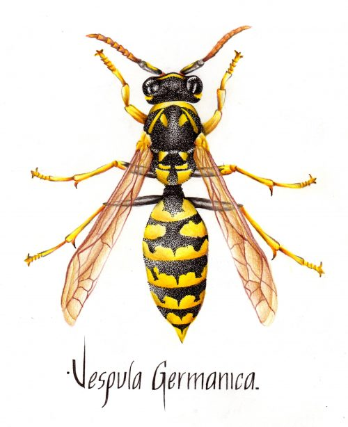 Vespula_germanica_-_Williams_Jose_Toledo_Sosa