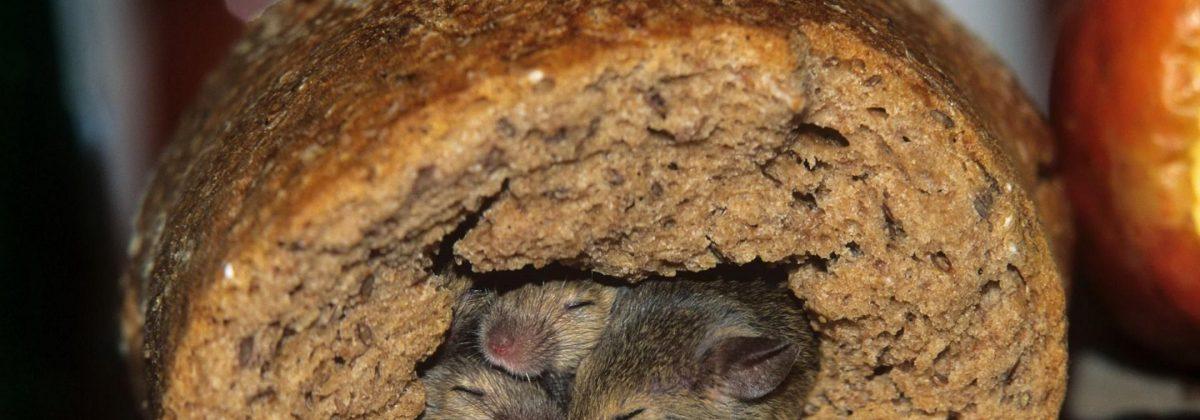 Muizen in brood