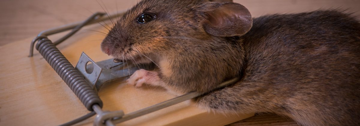 mouse-wildlife-mammal-death-rodent-fauna-rat-whiskers-snout-animals-caught-pest-mousetrap-trap-organism-gerbil-muroidea-degu-muridae-