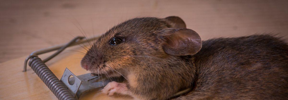 mouse-wildlife-mammal-death-rodent-fauna-rat-whiskers-snout-animals-caught-pest-mousetrap-trap-organism-gerbil-muroidea-degu-muridae-