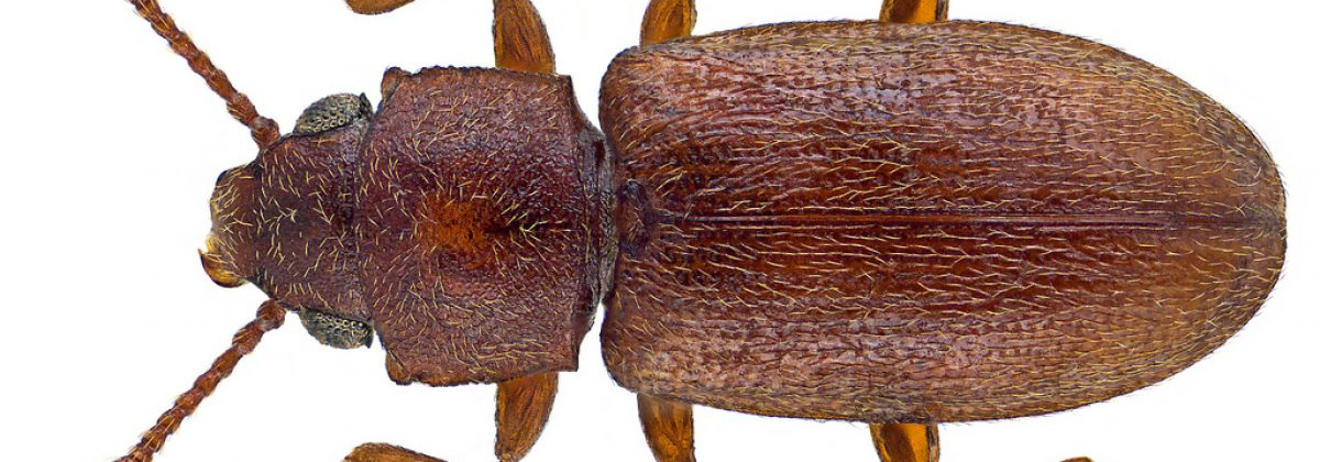 Tropische schimmelkever