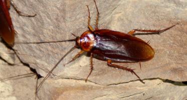 Amerikaanse kakkerlak (Periplaneta_americana)