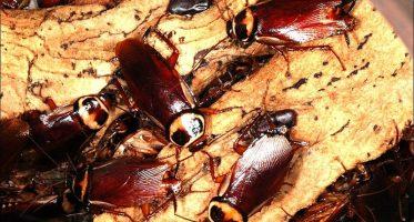 Australische kakkerlak (peroplaneta australasiae)
