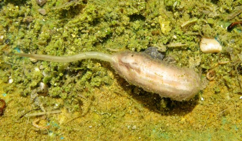 Rattail-maggot