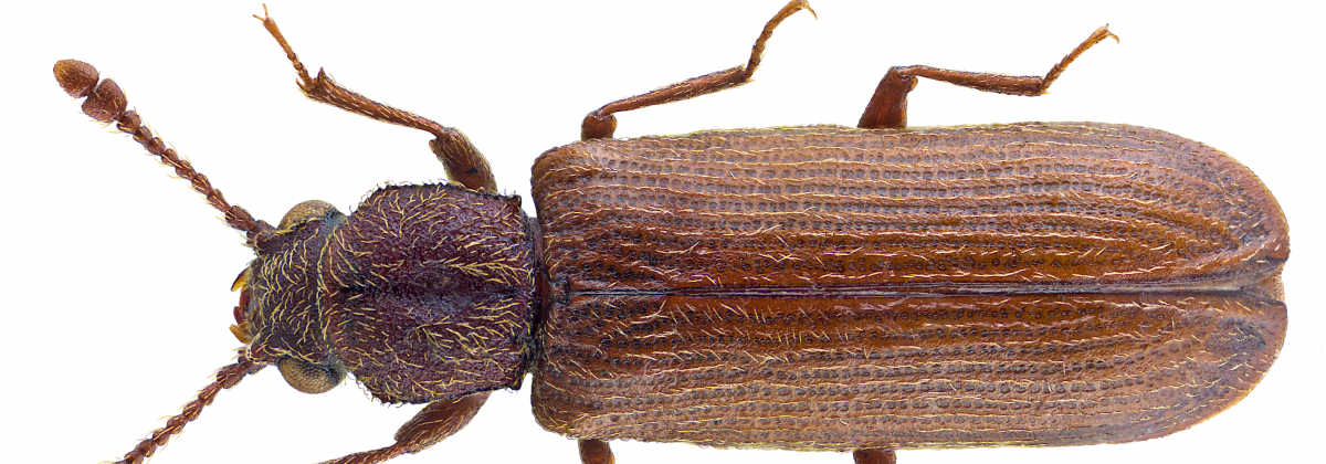 Spinthoutkever (Lyctus linearis)