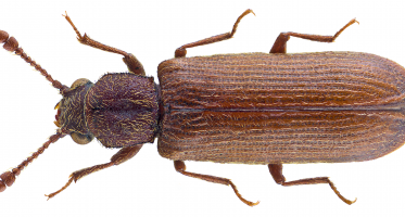 Spinthoutkever (Lyctus linearis)