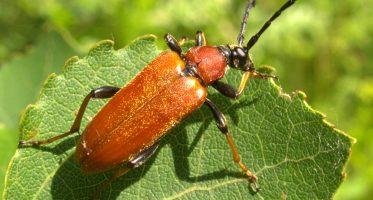 Stictoleptura rubra, female