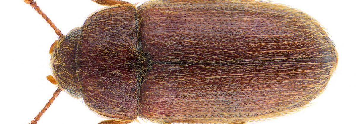 behaarde schimmelkever (typhaea stercorea)