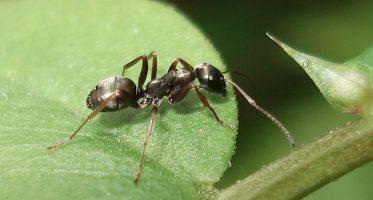 grauwzarte mier (formica fusca)