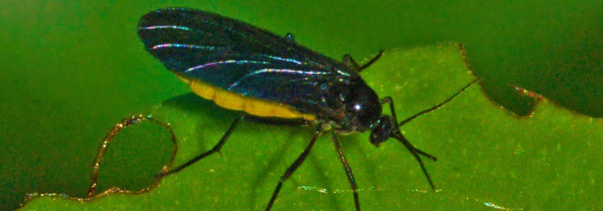 sciaridae