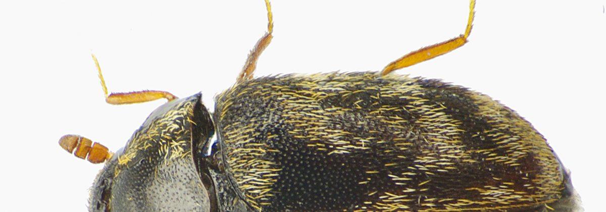 Anthrenocerus_australis