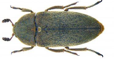 Dermestes maculatus