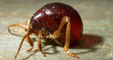 Diefkevers_Gibbium_psylloides