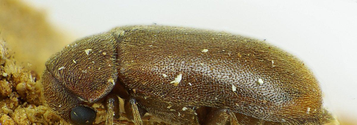 Ernobius mollis