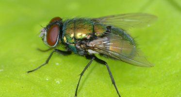 Groene aasvlieg