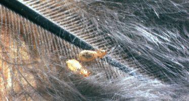 Menacanthus_stramineus (mallophaga)