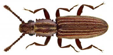 Oryzaephilus mercator