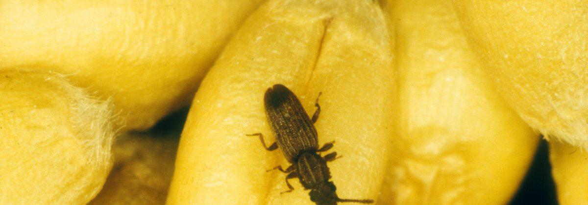 Sawtoothed grain beetle, Oryzaephilus sp.