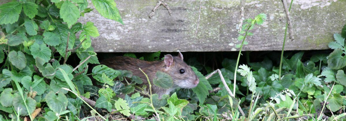 Bruine rat boerderij