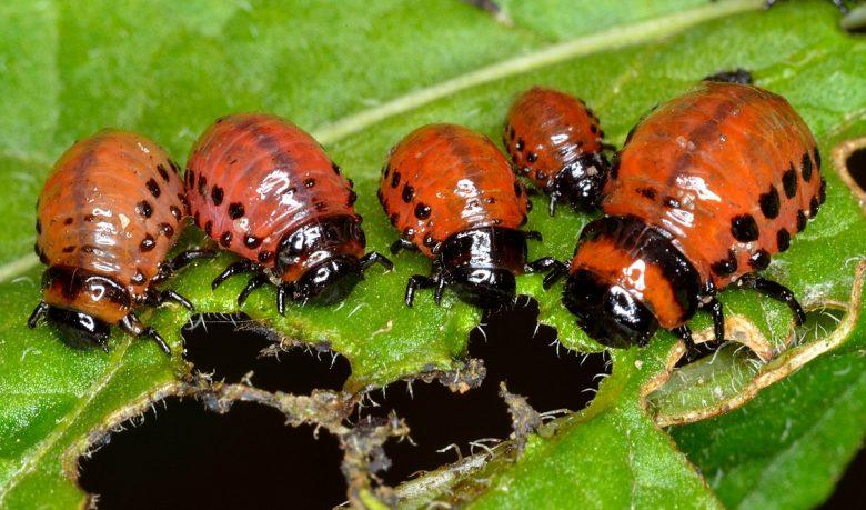 coloradokever larven
