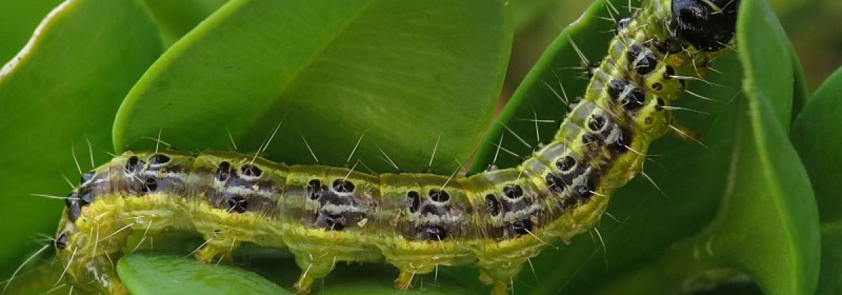 Cydalima_perspectalis_(Crambidae)_-_(caterpillar),_Ammerzoden,_the_Netherlands