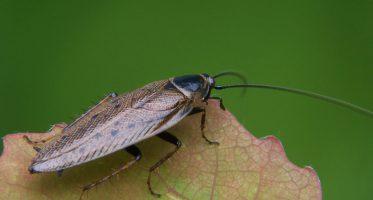 boskakkerlakken
