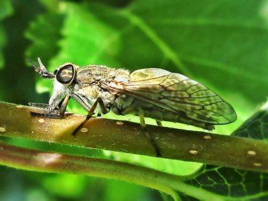 regendaas (Haematopota pluvialis)